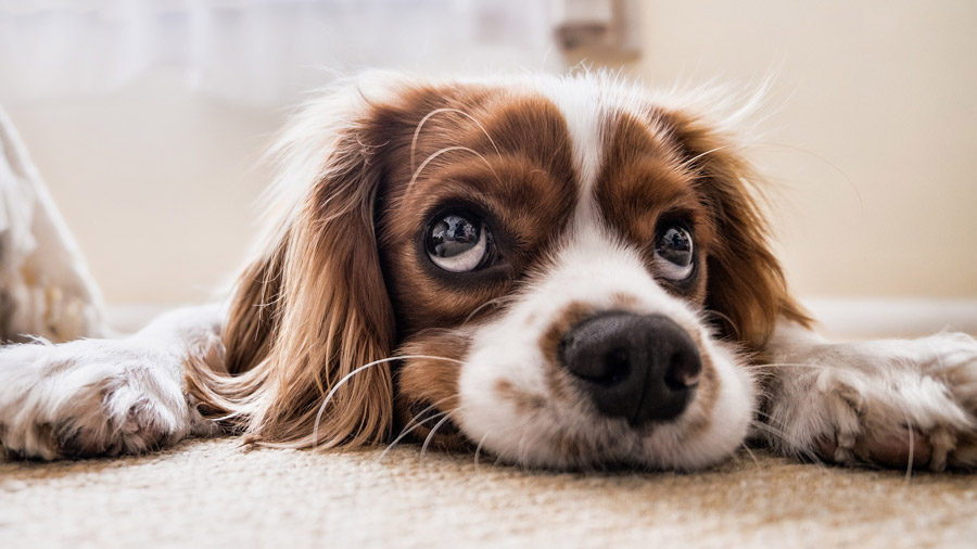 Süßer Hund schaut mit seinem Dackelblick in die Kamera.